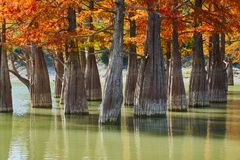 Suporte dourado do distichum do Taxodium majestosamente em um lago lindo contra o contexto das montanhas de Cáucaso na queda outo fotografia de stock royalty free