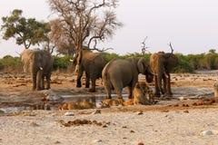 Suporte isolador dos elefantes com leões em um waterhole Imagens de Stock