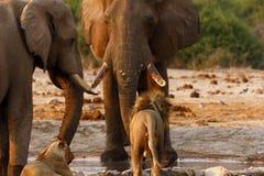 Suporte isolador dos elefantes com leões em um waterhole Imagem de Stock