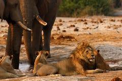 Suporte isolador dos elefantes com leões em um waterhole Imagem de Stock Royalty Free