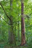 Suporte misturado natural da floresta de Bialowieza fotografia de stock royalty free