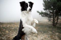 Suporte preto e branco de border collie do cão do retrato na floresta e na dança do campo fotos de stock royalty free