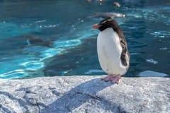 Suporte real do pinguim que dorme na rocha Fotografia de Stock Royalty Free