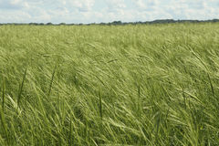 Suporte saudável do arroz selvagem Imagens de Stock Royalty Free