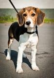 Suportes do cão do lebreiro Imagens de Stock