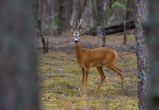 Suportes masculinos dos cervos de ovas firmemente na floresta do pinho fotografia de stock