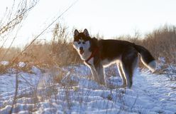 Suportes roncos Siberian fotos de stock royalty free