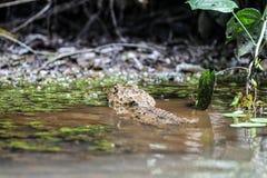 Suposição que - jacaré ou croccodile? Imagem de Stock