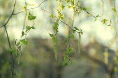 Suppengrün-Blüten Frühlingshintergrund mit Niederlassung von Birke catk Lizenzfreie Stockbilder