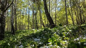 Suppengrün im Wald Lizenzfreie Stockbilder