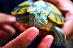 Suppenschildkröte auf der Hand stockfotografie
