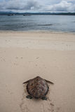 Suppenschildkröte auf Strand Lizenzfreies Stockfoto