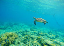 Suppenschildkröte im Meerwasser Schnorcheln in der tropischen Lagune Wilde Schildkröte, die unter Wasser im blauen tropischen Mee Stockbild