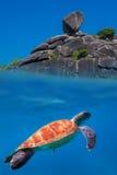 Suppenschildkröte in Similan-Inseln stockbilder