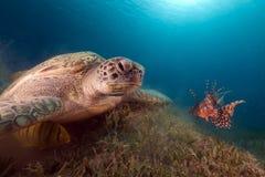 Suppenschildkröte und Freund Lionfish im Roten Meer. Lizenzfreies Stockbild