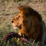 Supper of a lion. A having supper lion in the light of the coming sun with a meat piece royalty free stock photography