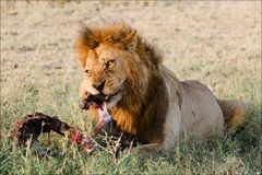 Supper of a lion. 2. A having supper lion in the light of the coming sun with a meat piece royalty free stock image