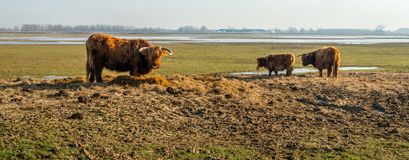Supplementary feeding Highland cows in a Dutch nature reserve. In the winter period, the Scottish Highlanders in the Dutch National Park De Biesbosch receive Stock Image