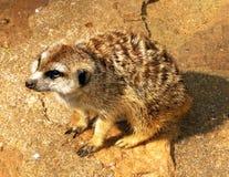 Supplica del Meerkat africano del sud Immagini Stock