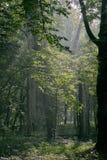 Support à feuilles caduques avec des charmes et des chênes photo libre de droits