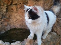 Support asiatique de chat domestique et regard vers le bas Images libres de droits