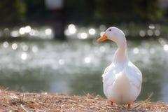 Support blanc de canard à côté d'un étang ou d'un lac avec le fond de bokeh Images libres de droits