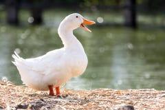 Support blanc de canard à côté d'un étang ou d'un lac avec le fond de bokeh Photo libre de droits