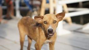 Support brun malingre de chien sur le plancher en bois Photos stock