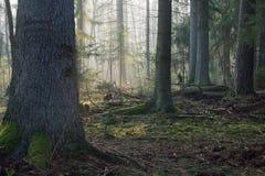 Support conifére de forêt de Bialowieza dans le matin photos libres de droits