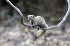 Support d'écureuil sur l'usine de rampement dans sauvage photos stock