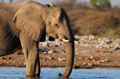 Support d'éléphant africain dans l'eau, nationalpark d'etosha, Namibie Photographie stock libre de droits
