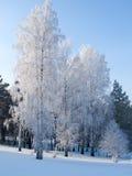 Support de bouleaux couvert de gelée Photos libres de droits