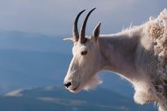 Support de chèvre de montagne fièrement, haut dans les montagnes rocheuses Photo stock