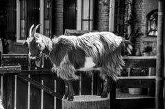 Support de chèvre sur le bloc en bois Photos libres de droits