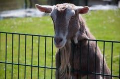 Support de chèvre sur un fance Photographie stock