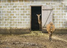 Support de deux cerfs communs dans la maison Images libres de droits