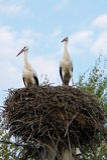 Support de deux cigognes dans leur nid Image stock