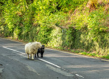Support de moutons sur la route Images libres de droits
