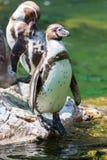 Support de pingouin de Humboldt sur une roche Photo stock