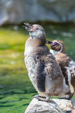 Support de pingouin de Humboldt sur une roche Image libre de droits