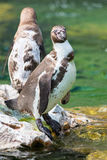 Support de pingouin de Humboldt sur une roche Photos stock