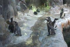 Support de pingouins sur les pierres Images libres de droits
