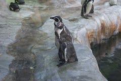Support de pingouins sur les pierres Image stock