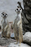 Support de Suricata de Meerkat Photos stock