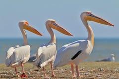 Support de trois pélicans blancs sur le banc de sable Images stock
