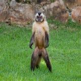 Support et regard de singe à l'appareil-photo Images stock