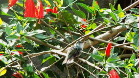 Support et sauter de colibri banque de vidéos