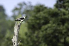support Noir-épaulé de cerf-volant sur le tronçon image libre de droits