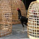 Support noir de coq près de cage de poulet et d'entaille thaïlandaises de filet C'est coq de combat, un coq multiplié et qualifié photos stock