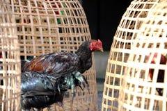 Support noir de coq près de cage de poulet et d'entaille thaïlandaises de filet C'est coq de combat, un coq multiplié et qualifié images libres de droits